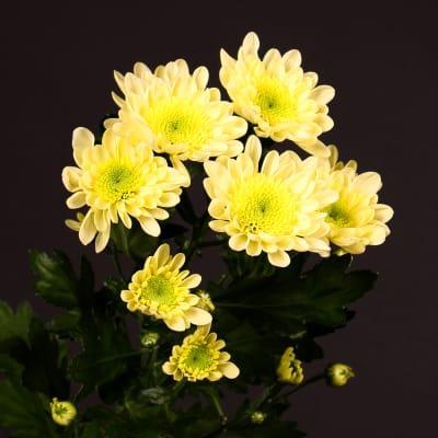 Chrysanthemum Radost Yellow (Bunch of 10)