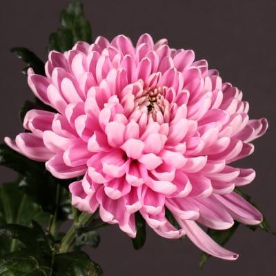 Chrysanthemum Rossano Dark (Bunch of 10)