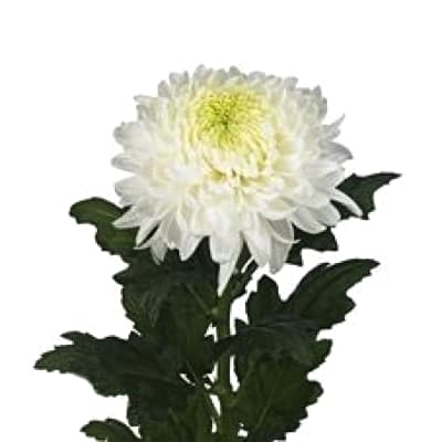 Chrysanthemum Se Magnum (Bunch of 10)