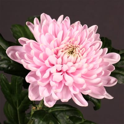 Chrysanthemum Se Rosanno (Bunch of 10)
