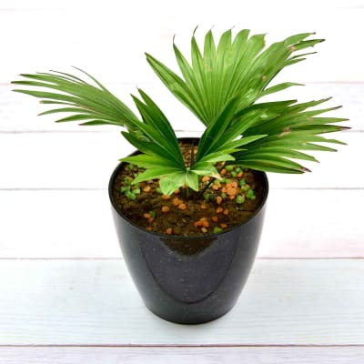 Classy China Palm Plant (Mild Light/Moderate Water)