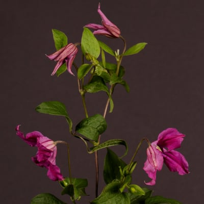 Clematis Inspiration (Bunch of 10)