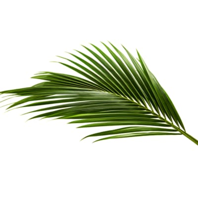 Coconut Leaf (Bunch of 100)