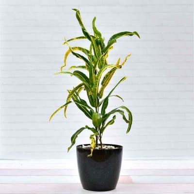 Croton-Yellow Banana Plant (Moderate light/Moderate Water)
