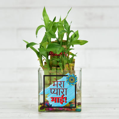 Customized Brother Special Two Layer Lucky Bamboo Plant