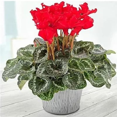 Cyclamen Potted Plant