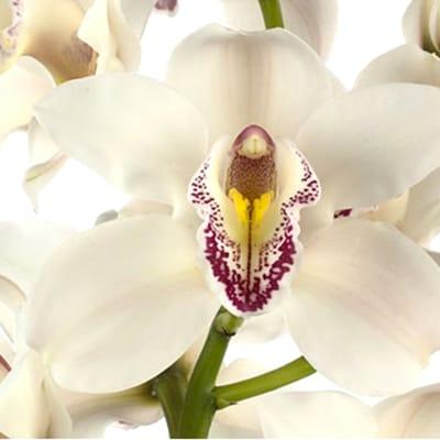 Cymbidiums Orchid Branch Cascade (per Stem)
