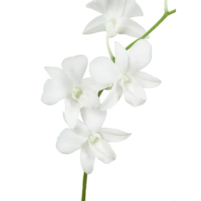 Dendrobium Galaxy White (Bunch of 20)
