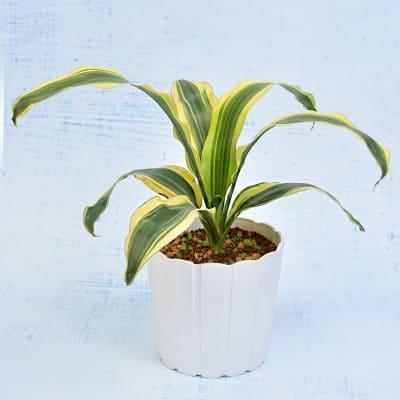 Dracaena Victoria Fragrans Plant (Moderate Light/Regular Water)