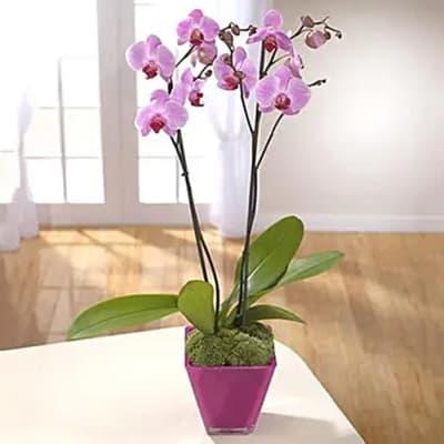 Elegant Beauty Orchids Plant