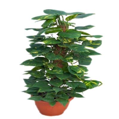 EPIPREMNUM PLANT