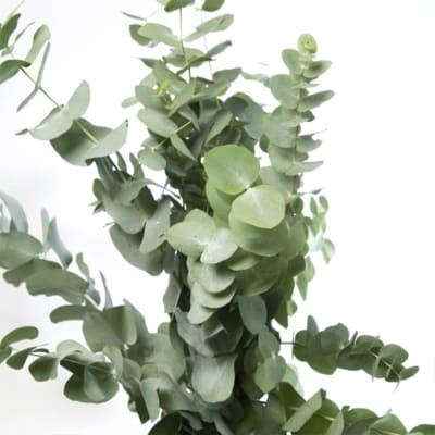Eucalyptus Cinerea (Bunch of 10)