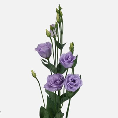 Eustoma Du Rosita Lavender (Bunch of 10)
