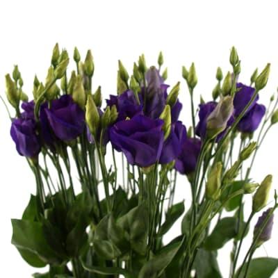 Eustomas En Piccolo Violet (Bunch of 10)