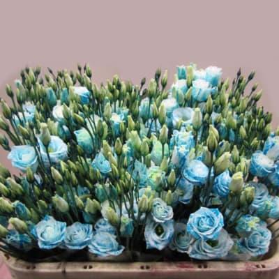 Eustomas Rosi Light Blue (Bunch of 10)