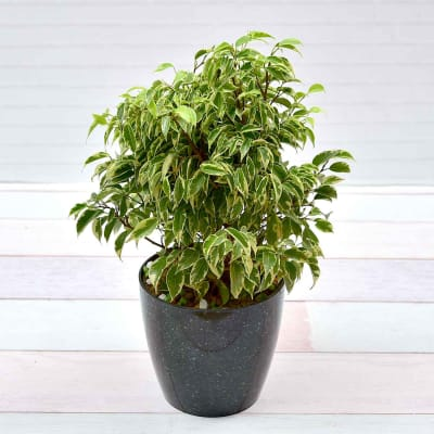 Ficus Compacta Variegated Plant (Moderate light/Moderate Water)