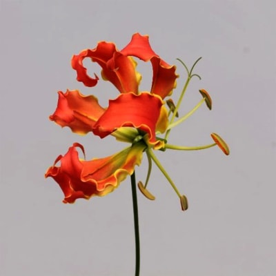 Gloriosa Orange Long (Bunch of 10)