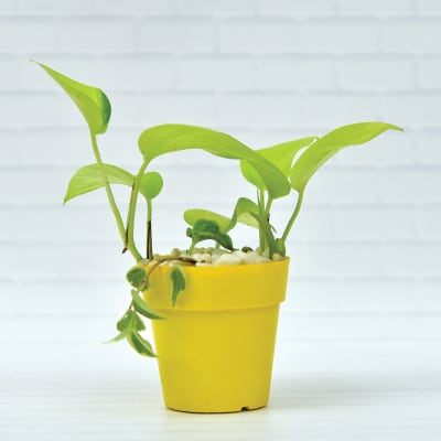 Glossy Devils Vine Golden Money Plant Scindapsus Air Purifying