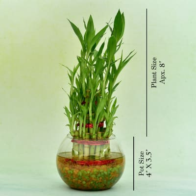 Good Luck Three Layer Bamboo Plant In A Glass Jar
