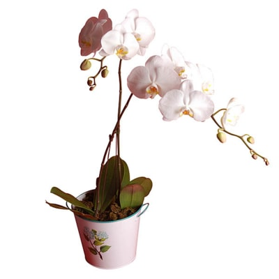 Gundy White Phalaenopsis Orchid