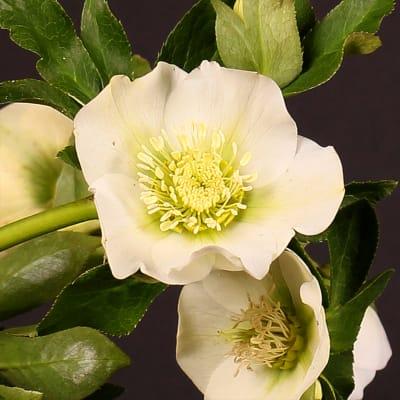 Helleborus Queens White (Bunch of 10)