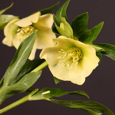 Helleborus Queens Yellow (Bunch of 10)