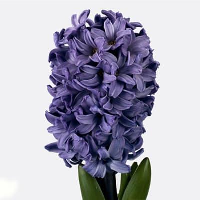 Hyacinths Blue Star (Bunch of 10)