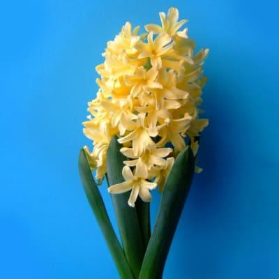 Hyacinths Yellowstone (Bunch of 10)
