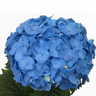 Hydrangea Bela (Bunch of 5)