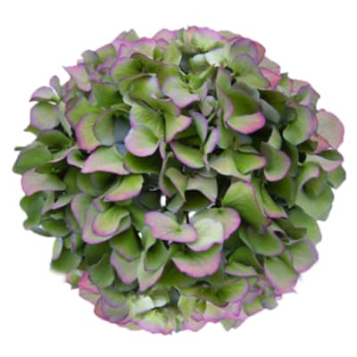 Hydrangea Challenge Classic (Bunch of 5)