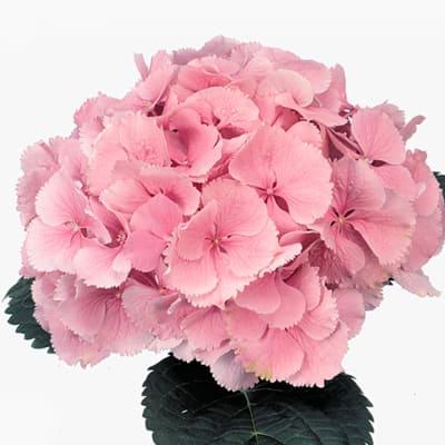 Hydrangea Elbtal Light Pink (Bunch of 5)