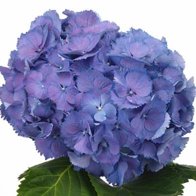 Hydrangea Elbtal Purple (Bunch of 5)