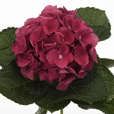 Hydrangea Esmee (Bunch of 5)
