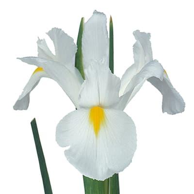 Iris White Magic (Bunch of 10)