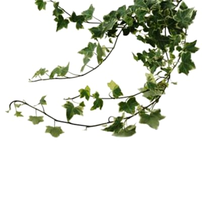 Ivy Leafs (Bunch of 5)