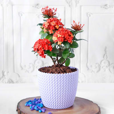Ixora Flower Plant in Textured Plastic Planter