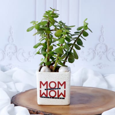 Jade Plant For Mom In White Ceramic Planter