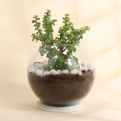 Jade Plant in Round Glass Vase