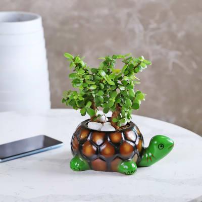 Jade Plant in Tortoise Designer Ceramic Planter