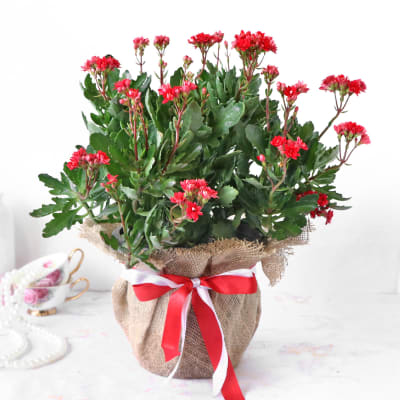 Kalanchoe Plant in Jute Wrapping with Plastic Planter