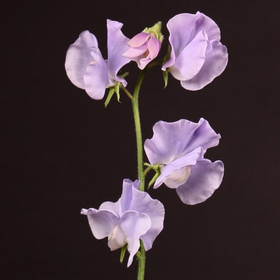 Lathyrus Winter Sunshine Lavender (Bunch of 10)