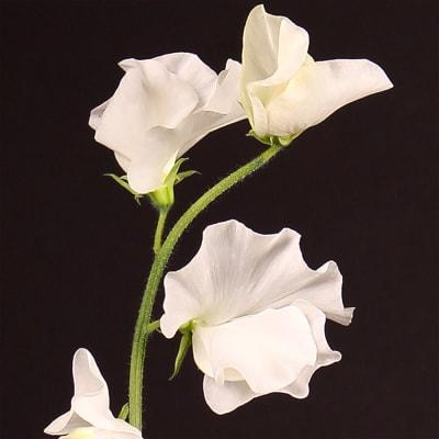 Lathyrus Winter Sunshine White (Bunch of 10)