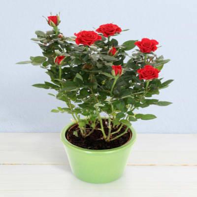 Little roses in pot