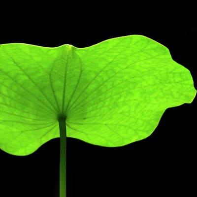 Lotus Leaf (Bunch of 15)