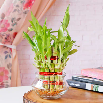 Lucky Bamboo In Mini Bowl Glass Vase