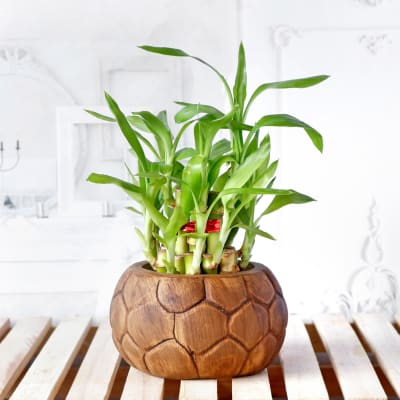 Lucky Bamboo Plant in Ceramic Planter