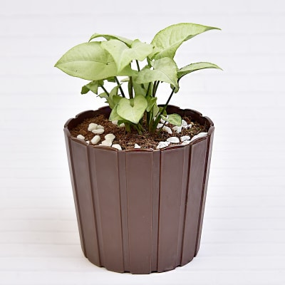 Lucky Syngonium Green Plant (Low Light/Moderate Water)