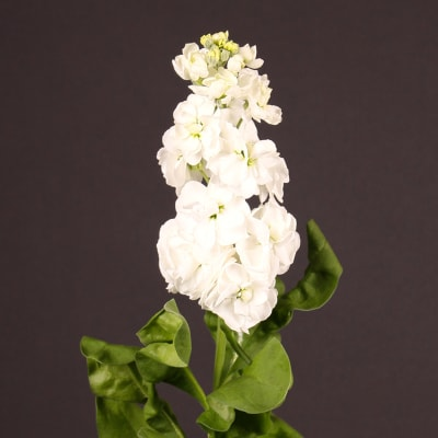 Matthiola Aida White (Bunch of 10)