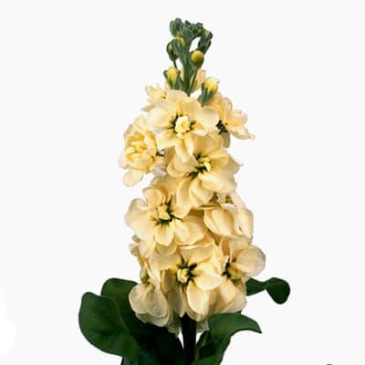 Matthiola Centum Cream (Bunch of 10)