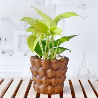 Money Plant in Ceramic Planter
